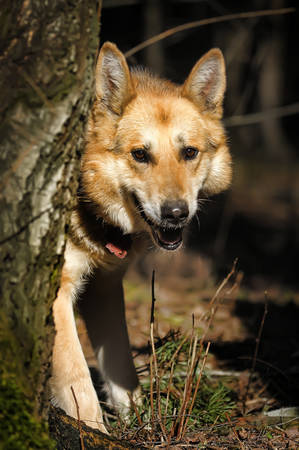 Portrait of crossbreed  german shepherd, beautiful young female  photo