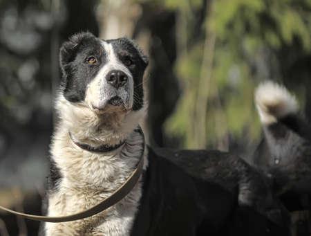 large dog: a large black and white crossbreed dog alabai Stock Photo