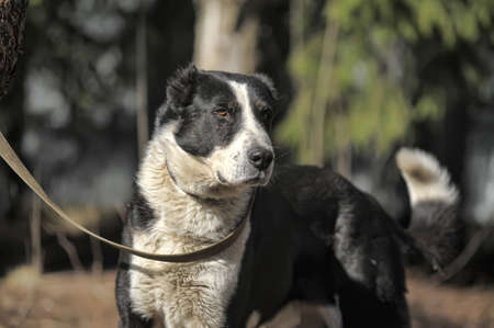 alabai: a large black and white crossbreed dog alabai Stock Photo