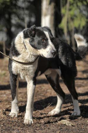 a large black and white crossbreed dog alabai photo