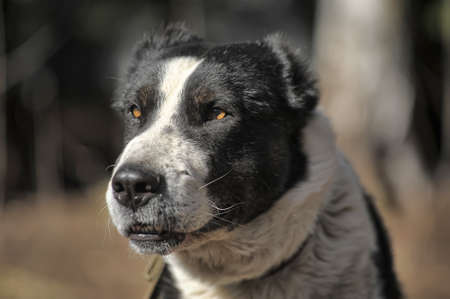 a large black and white crossbreed dog alabai Stock Photo