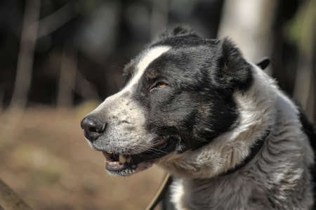 a large black and white crossbreed dog alabai photo