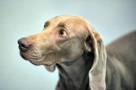 A beautiful Weimaraner dog head portrait photo