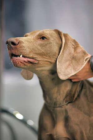 A beautiful Weimaraner dog head portrait Stock Photo