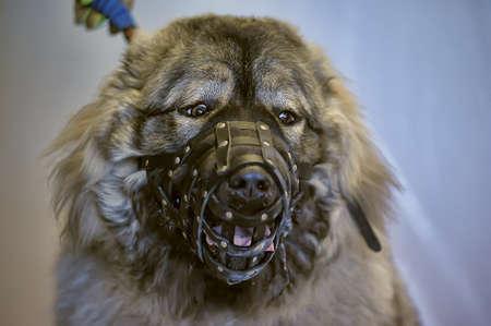 caucasian shepherd: Caucasian Shepherd muzzled