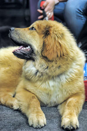Tibetan mastiff puppy photo