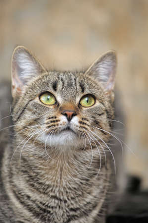 European shorthair tabby cat photo