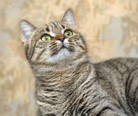 European shorthair tabby cat photo
