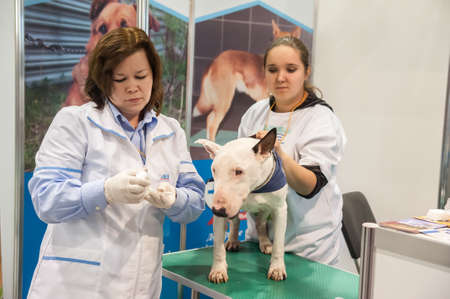 cope: Veterinarian examining dog bull terrier, to demonstrate how to cope and care for pets at the exhibition of animals  Zooshow  Petreburge, Russia