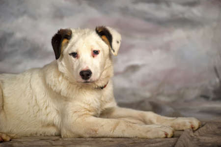best shelter: Beautiful, large, white with black spots puppy, pooch. Stock Photo