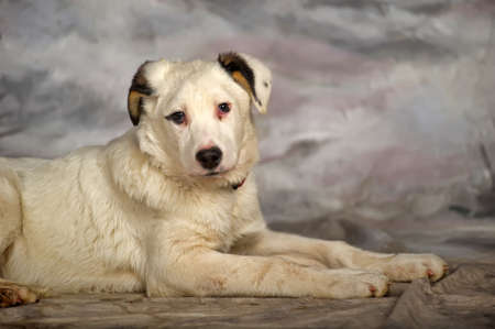 half blooded: Beautiful, large, white with black spots puppy, pooch. Stock Photo