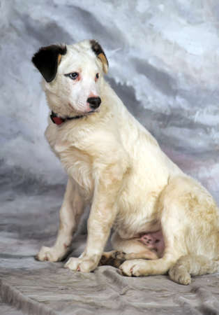 pure blooded: Beautiful, large, white with black spots puppy, pooch. Stock Photo