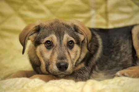 Cute puppy - crossbreed German Shepherd. Stock Photo