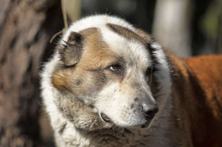 Old Central Asian Shepherd Dog photo