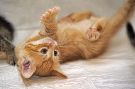 pure blooded: little red kitten playing Stock Photo