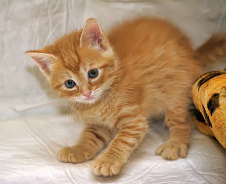 deftness: little red kitten playing Stock Photo