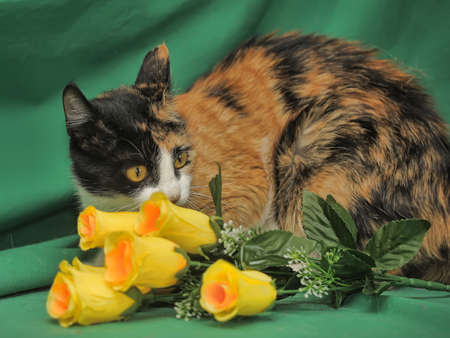 tricolor smooth cat  photo
