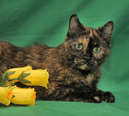 calico whiskers: tortie cat on a green background Stock Photo
