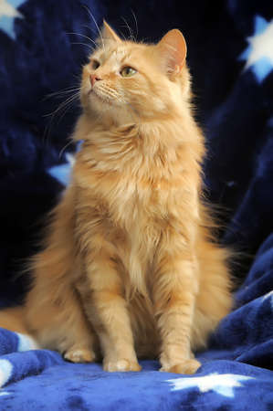 Red fluffy cat on a blue background  photo