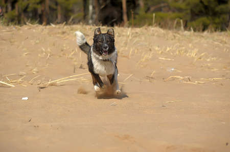 dog running on the sand photo
