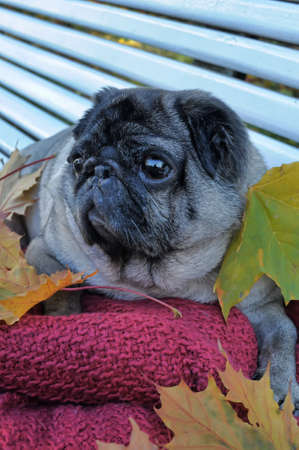 pug and autumn leaves photo