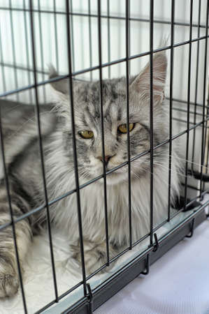 Maine Coon in a cage photo