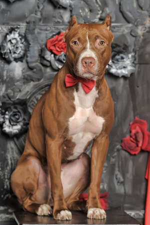 gardian: Brown and white pit bull terrier. Stock Photo