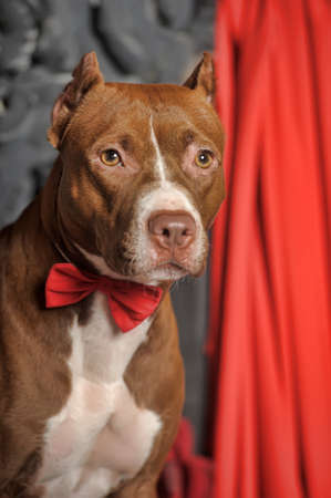Brown and white pit bull terrier. Stock Photo