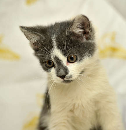 white with gray kitten photo