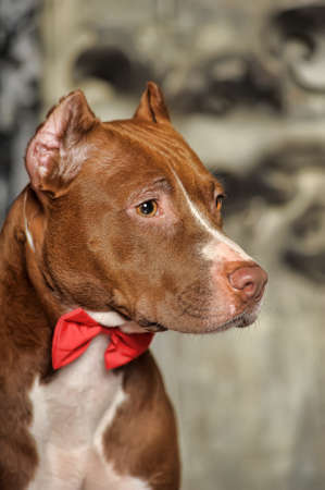 householder: Brown and white pit bull terrier. Stock Photo