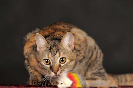 beautiful tabby cat in studio on a gray background photo