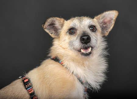 Crossbreed terrier in studio on dark background. photo