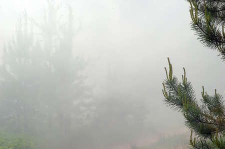 fog in a pine forest photo