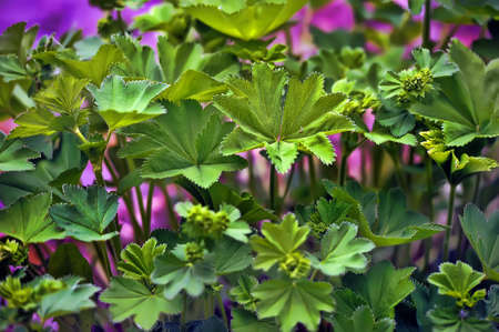 alchemilla photo