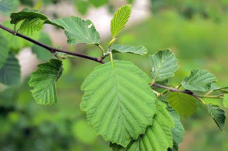foliage tree: young foliage tree summer close