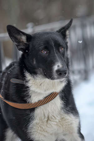 stay alert: black and white crossbreed dog in winter