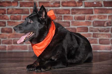 black dog with a kerchief  photo