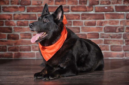 black dog with a kerchief  photo