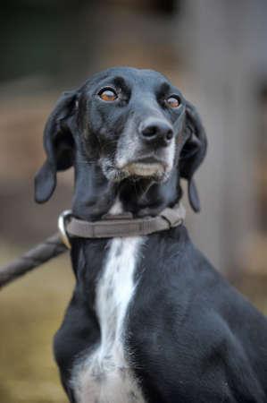 shepherd's companion: black and white hound