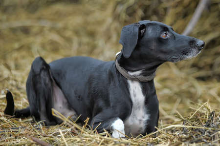 half blooded: Outdoor shot of a black and white dog  Stock Photo