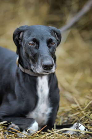 shepherd's companion: Outdoor shot of a black and white dog  Stock Photo