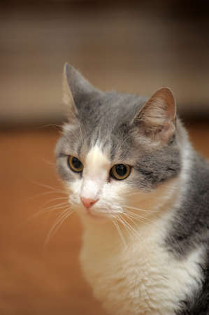 gray cat: A Gray and White Cat Stock Photo