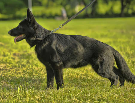 puppy black German Shepherd photo