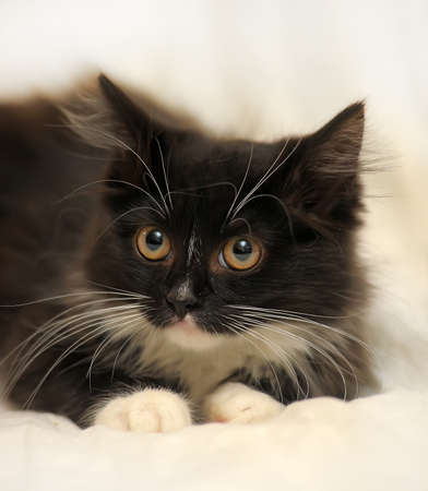catchlight: Black with white fluffy kitten. Stock Photo