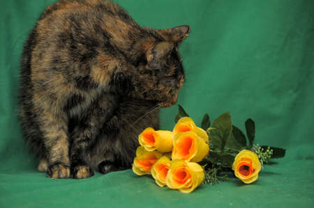 calico whiskers: tortie cat on a green background and beautiful yellow roses