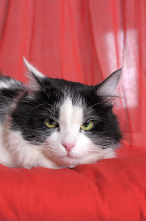 black and white cat unhappy on a red background