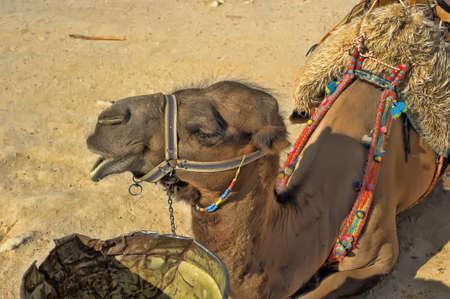 saddle camel: Face of Camel in Turkey  Stock Photo