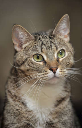 portrait handsome tabby cat photo