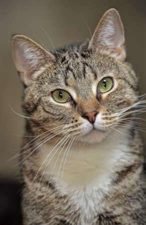 portrait handsome tabby cat photo