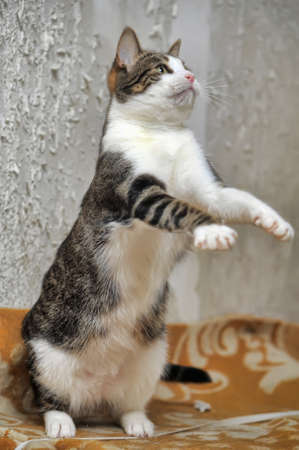 Striped playful young cat catches lifted paw  photo
